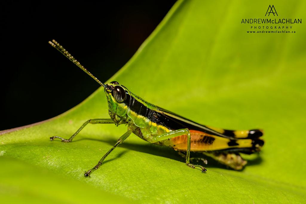 Grasshopper in Amazonian Rainforest in the Cordillera Escalera near Tarapoto, Peru