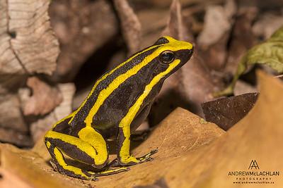 Three-striped Poison Frog (Ameerega trivittata) in the Cordillera Escalera, Peru