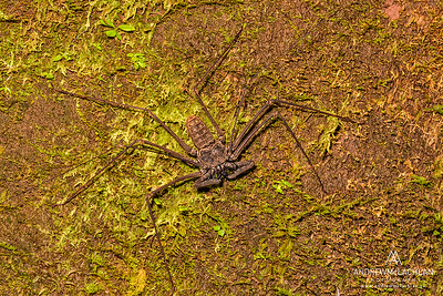 Tailless Whip Scorpion (Amblypygi) in the Cordillera Escalera, Peru