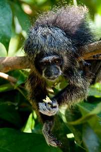 Monkey Island, Amazon River, Peru