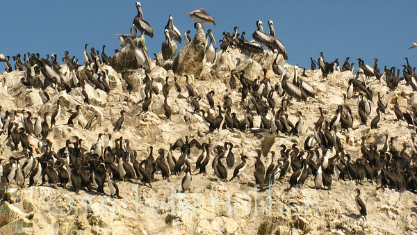 Cormorants and Pelicans, Islas Ballestas