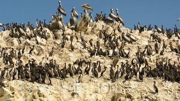 Cormorants and Pelicans, Islas Ballestas