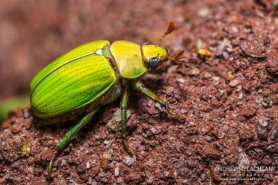 Beetle in the Cordillera Escalera, Peru