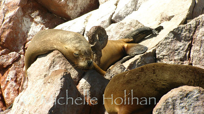 Sea Lions, Islas Ballestas