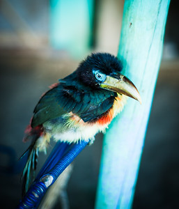 Very tame and brightly coloured bird, Iquitos, Peru, South America