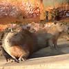 Capybaras seen on bank of Madre de Dios , en route to Refugio Amazonas. By Ron Gilliland, August 4 2015