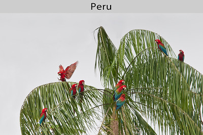 Red-and-green Macaws in Manu National Park, Peru. Taken by Ted Cheeseman in 2005.