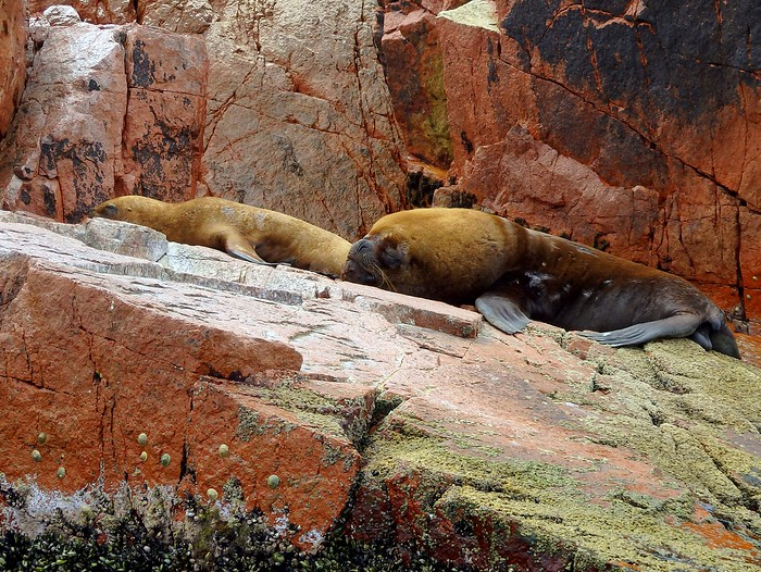 Sea lions lounging in the sun in Islas Ballestas