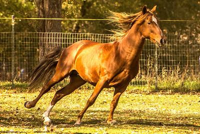 Paso Peruvian Stallion