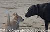 Have We Met? <br /> Bizzy (Corgi Mix) and Stella (Labrador Retriever)<br /> Fort Funston - Ocean Beach, San Francisco