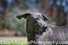 Mighty Dog<br /> Great Dane<br /> Saint Mary's Dog Park, San Francisco