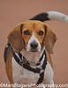 Golie<br /> Beagle<br /> Walter Haas Dog Park, San Francisco