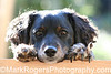 Max<br /> Dachshund-Terrier Mix