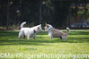 Clash of the Titans<br /> Tommy the West Highland Terrier vs  Bizzy the Corgi Mix<br /> St. Mary's Dog Park, San Francisco