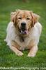 Stanley on his 1st Birthday<br /> Labrador Retriever<br /> Saint Mary's Dog Park, San Francisco