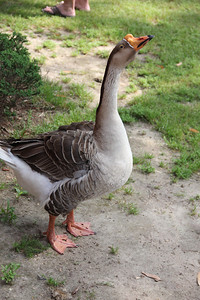 Beauregard the goose was a fierce protector of he mate while she set her eggs. He chased anyone who got too close.