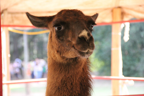 A llama at the Magnolia Corn Maze petting zoo.