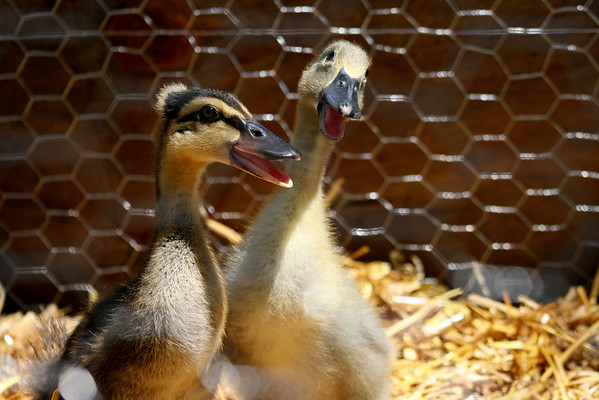 I don't know what species these little ducklings are but I love their little tuft on the top of their heads. They loved the camera.