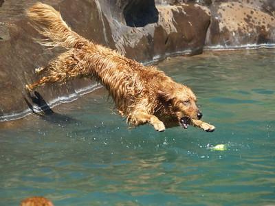 2009 Golden Retriever Swim Party