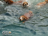 3rd Annual Golden Retriever Meetup Swim Party 004