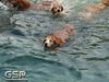 3rd Annual Golden Retriever Meetup Swim Party 004