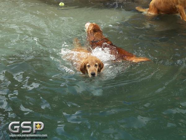 3rd Annual Golden Retriever Meetup Swim Party 010