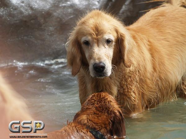 3rd Annual Golden Retriever Meetup Swim Party 094