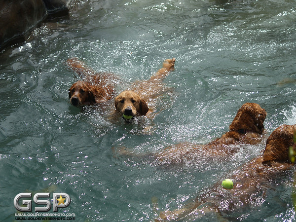 3rd Annual Golden Retriever Meetup Swim Party 080