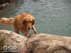 3rd Annual Golden Retriever Meetup Swim Party 158