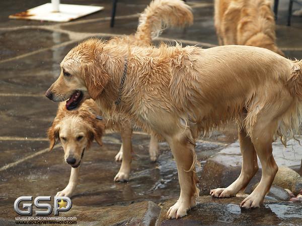 3rd Annual Golden Retriever Meetup Swim Party 072