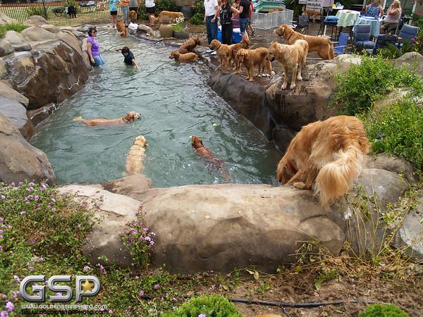 3rd Annual Golden Retriever Meetup Swim Party 152