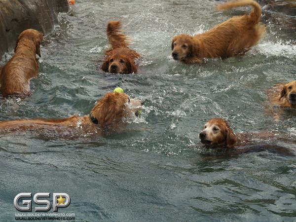 3rd Annual Golden Retriever Meetup Swim Party 003