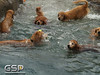 3rd Annual Golden Retriever Meetup Swim Party 003