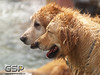 3rd Annual Golden Retriever Meetup Swim Party 082