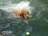 3rd Annual Golden Retriever Meetup Swim Party 017