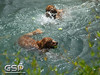 3rd Annual Golden Retriever Meetup Swim Party 079