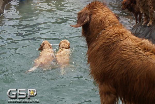 3rd Annual Golden Retriever Meetup Swim Party 150
