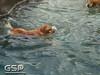3rd Annual Golden Retriever Meetup Swim Party 013