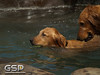 3rd Annual Golden Retriever Meetup Swim Party 110