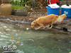 3rd Annual Golden Retriever Meetup Swim Party 007