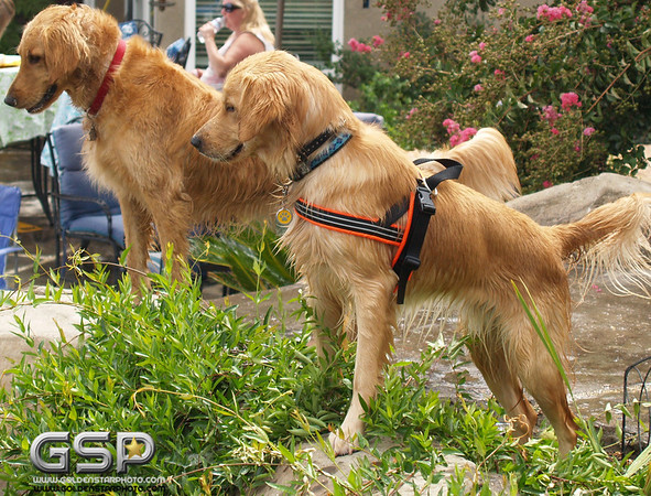 3rd Annual Golden Retriever Meetup Swim Party 151