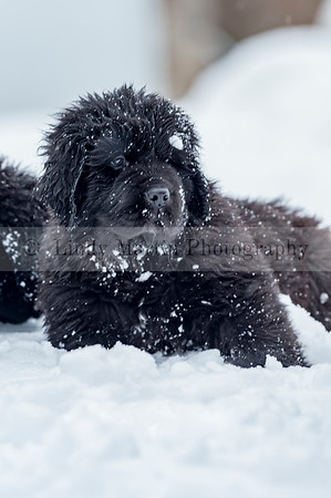 Newfie puppy close up