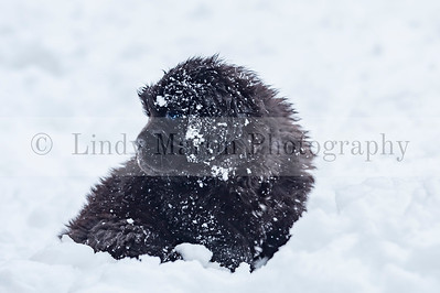 Snow covered Newfoundland puppy