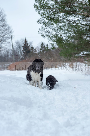 Newfie Puppy with Mom in the snow