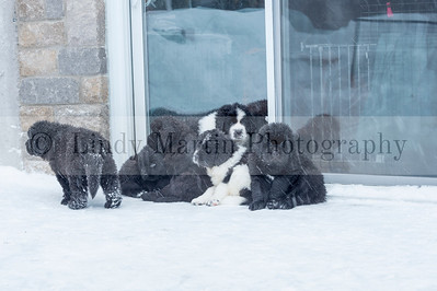 Newfie puppies wanting to go home