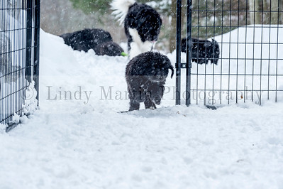 A litter of Newfie puppies in the snow
