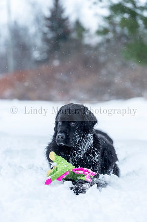 Snowy Newfoundland dog with a toy