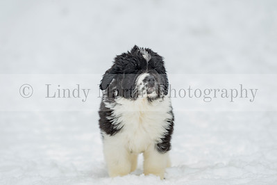 Newfoundland Lancier Puppy in the Snow