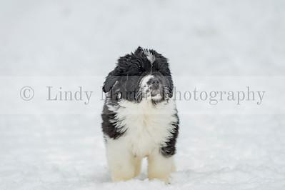 Newfoundland Lancier Puppy in the Snow