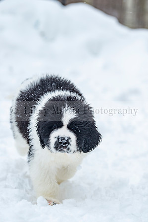 Lancier Puppy in the snow